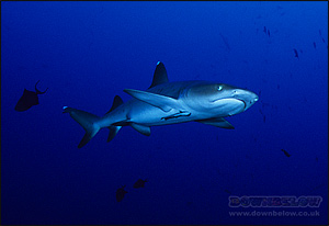 Dorsal and pelvic fins act as stabilizers and the pectoral fins lift the shark as it swims (White Tip Reef Shark)
