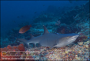 White Tip Sharks have spiracles, allowing  for stationary rest