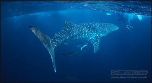 The biggest fish in the ocean: Whale Shark