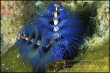 2 cone-like spirals are used to filter the water for particles on which the Christmas Tree Worms feed