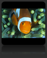 Clownfish / Damselfish Marine Biology