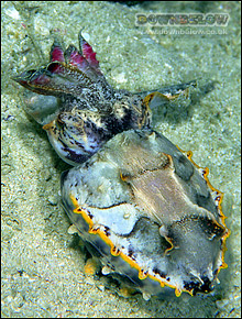 Amazing ability of the flamboyant cuttlefish to change coloration