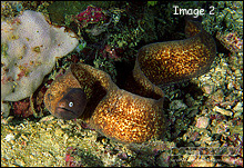 Moray Eels bodies are scale-less, dorsal fin begins behind the head & stretches the length of the body
