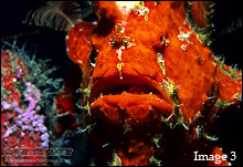 Many divers describe the Anglerfish as the Big Ugly One