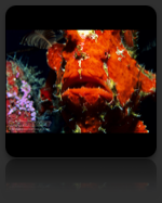 Frogfish Marine Biology