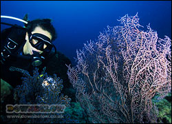 A Diver looks within a Muricella sp seafan
