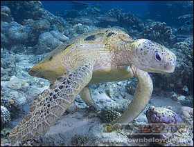 Green turtle getting cleaned on the reef