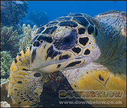 Hawksbill turtle, four scales between the eyes