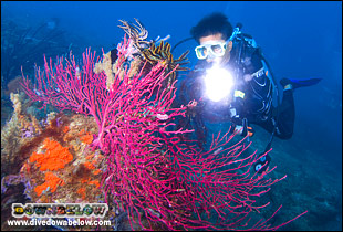 A diver using a light to bring out the pink colours in this coral for underwater photography
