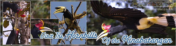 Visit Sabah's Hornbills on the Kinabatangan River