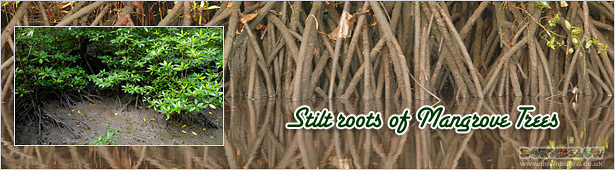 The Stilt Roots of the Mangrove at KK Wetlands Centre