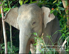 Pigmy Elephants Are Endangered in Sabah