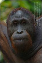 Sepilok - Big Orang Utan Keeping Watch