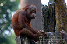 Young orang utan seperated from it's mother