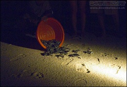 Turtle hatchlings released back into the wild