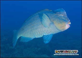 Bumphead Parrot Fish frequently spotted at Sipadan