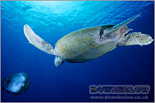 Green turtles often mistake plastic bags for food