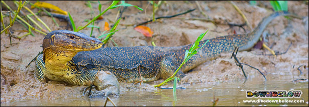 A big lizard spotted on the banks of the Kinabatangan River