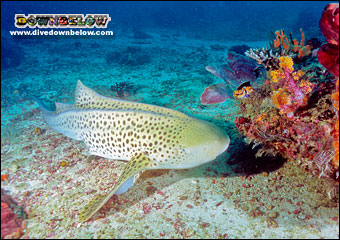 Leopard Shark frequently spotted at South Point, Sipadan