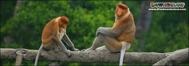 A female and male proboscis monkey shooting the breeze at Labuk Bay