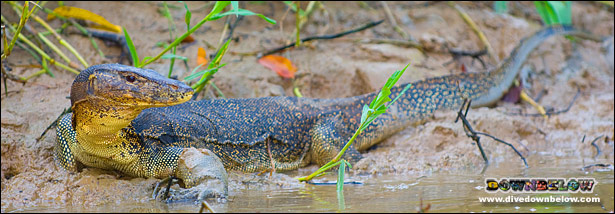 A monitor lizard on the beach spotted while hiking