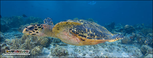 Turtles are like flies at Sipadan - everywhere!