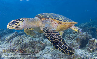 Hawksbill Turtle on Kapalai