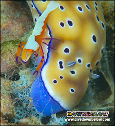 Partner Shrimp on a Nudibranch - hard to survive in a populted environment