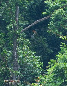 Big male proboscis monkey in the trees near the Gaya Island dive centre