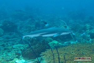 The Blacktip Reef Sharks are still in Kota Kinabalu!