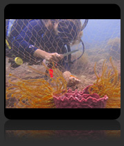 Coral Replanting Project Act II May 2013