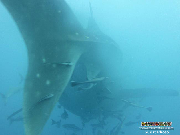 The tails of the pair of whalesharks our Glamorgan group spotted while diving in Kota Kinabalu on Sunday