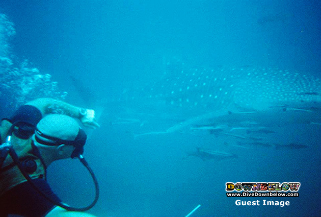 Finally, Richard in a shot with a whale shark as captured by one of our whale shark watching guests