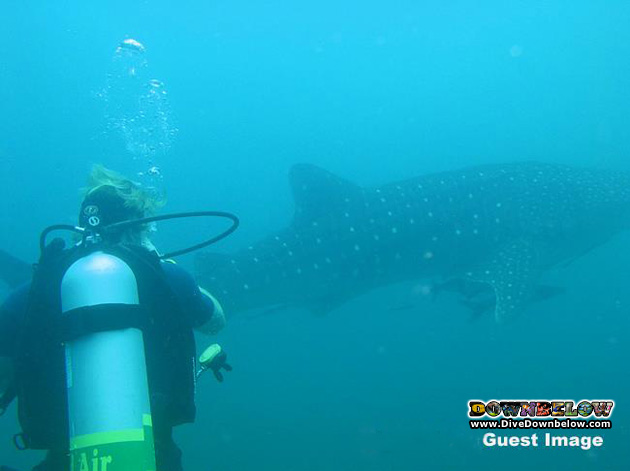 Guest Ashley Whitworth took this picture of another guests who encountered a whale shark during his Nitrox dive
