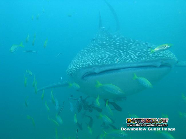We kicked off the weekend on Friday with this beautiful picture of our first weekend whale shark