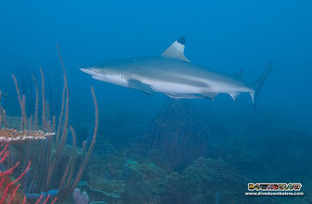 Black tip reef shark in Kota Kinabalu