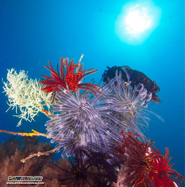Corals with vibrant colors from Tunku Abdul Rahman Park as captured by Downbelow team.