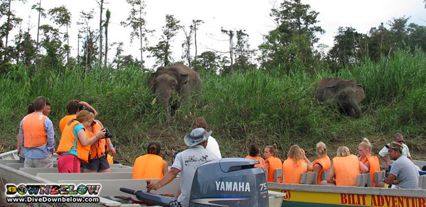 danish-adventurers-sighted-elephants-borneo