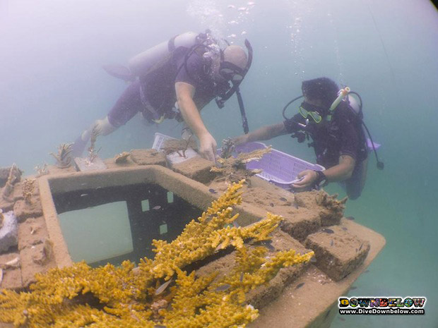 helping-damaged-corals-borneo