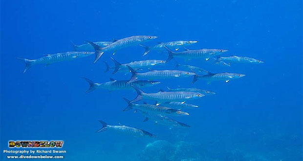 Barracudas Borneo