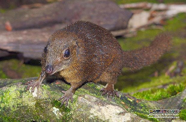 Hamster in Kinabalu Park