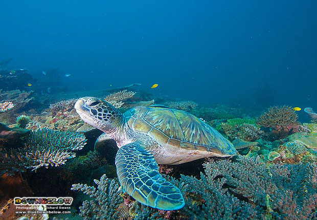 friendly turtle at TARP Borneo