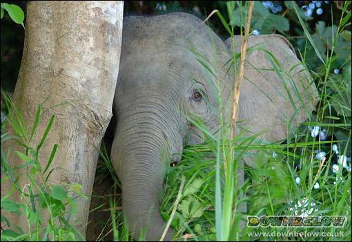 borneo-mammals-pigmy-elephants-04