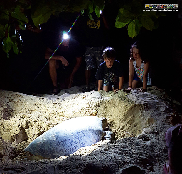 selingan turtle island, turtle hatchery, marine conservation, celebes sea, sabah travel centre, downbelow marine and wildlife adventures, wildlife safari, ecotourism, borneo,