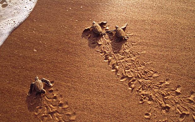 selingan turtle island, kinabatangan river, wildlife adventure program, downbelow marine and wildlife adventures, safari, river cruise, forest walks, turtle hatchery, conservation, ecotourism, promotion, value for money, borneo, sabah, sandakan,