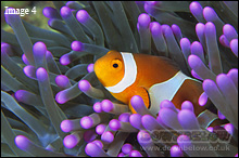 Clownfish have a mucus layer to protect against the sting of the anemone