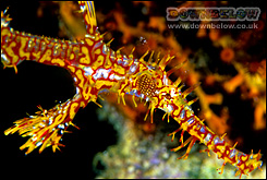 Ornate Ghostpipefish