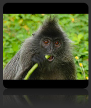 Photos of Langur / Leaf Monkeys