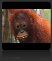 Photos of Orang Utans