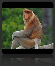 Photos of Proboscis Monkeys